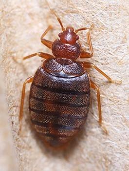 Bed Bugs Economy Exterminators
