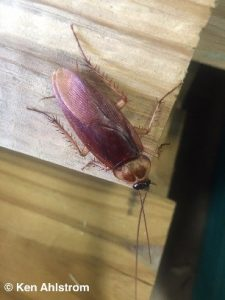 American cockroaches fly