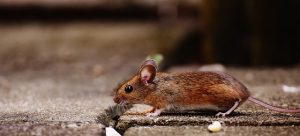 mouse in church pest control
