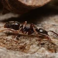 asian needle ant