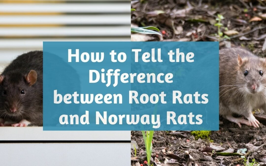 difference-between-roof-rats-norway-rats