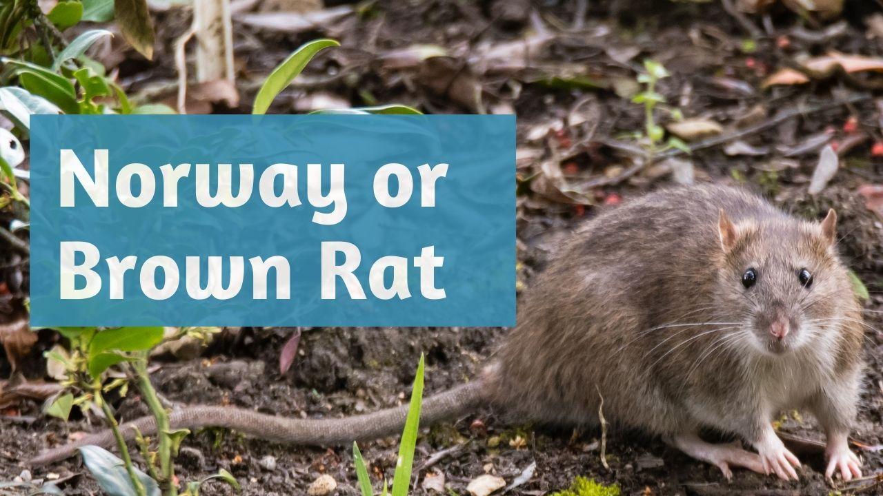 norway rat or brown rat