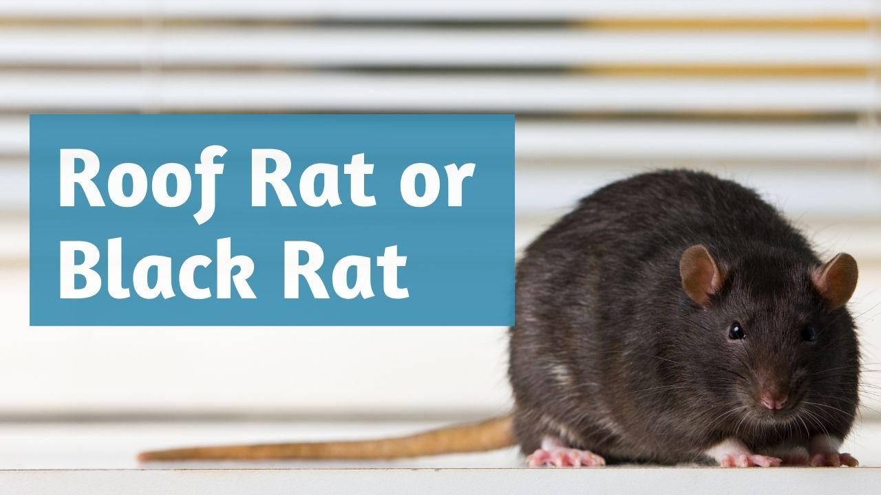 roof rat or black rat