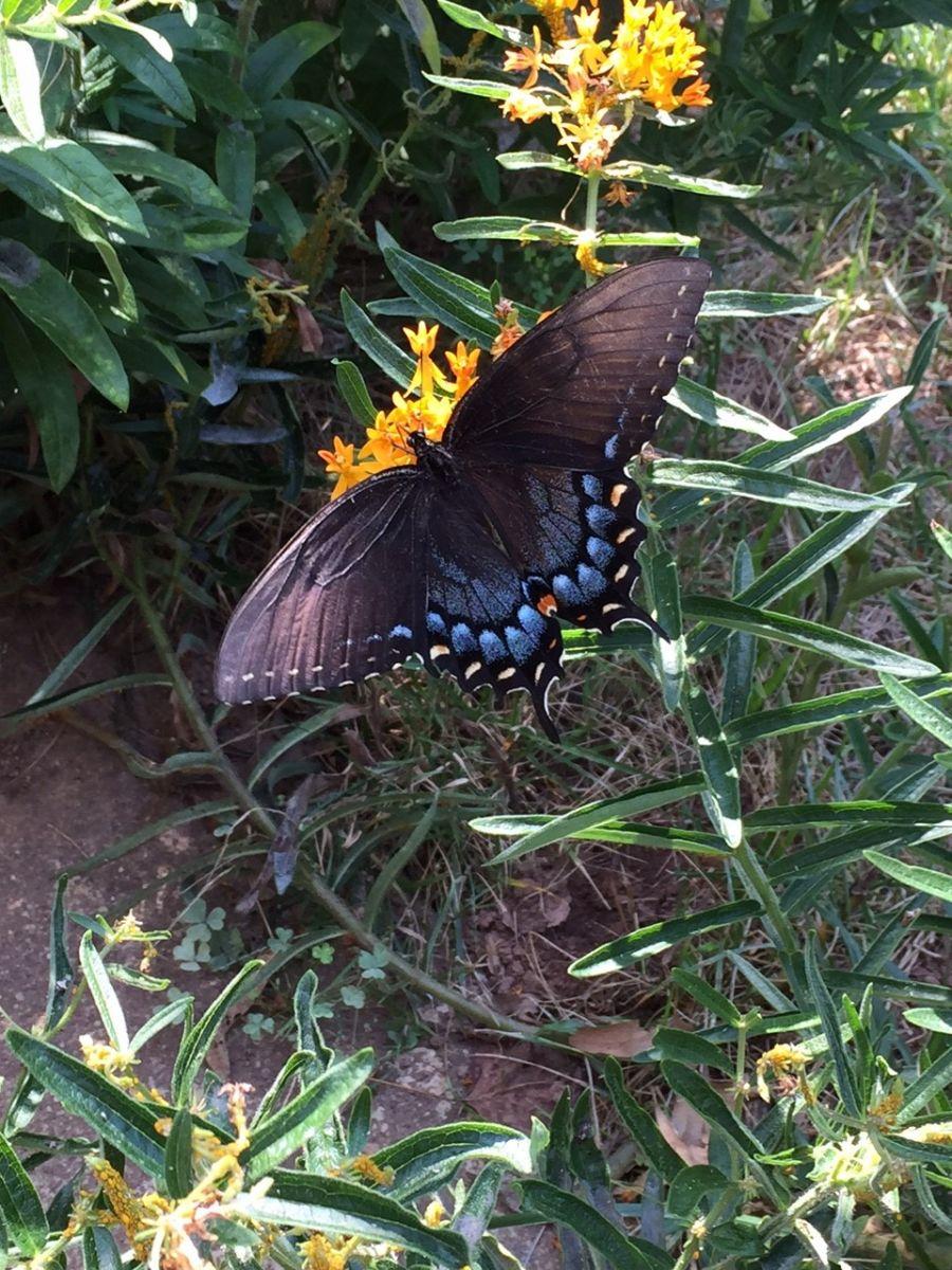 Beauty on the Wing 2 Addendum