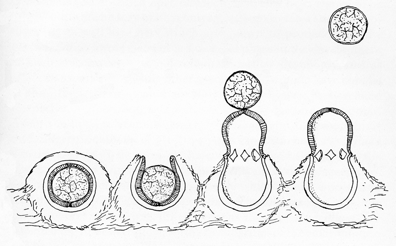 Figure 3. Stylized illustration showing mechanism of artillery fungus firing a spore.
