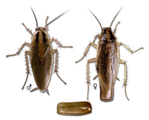 cockroach control raleigh wilmington charlotte