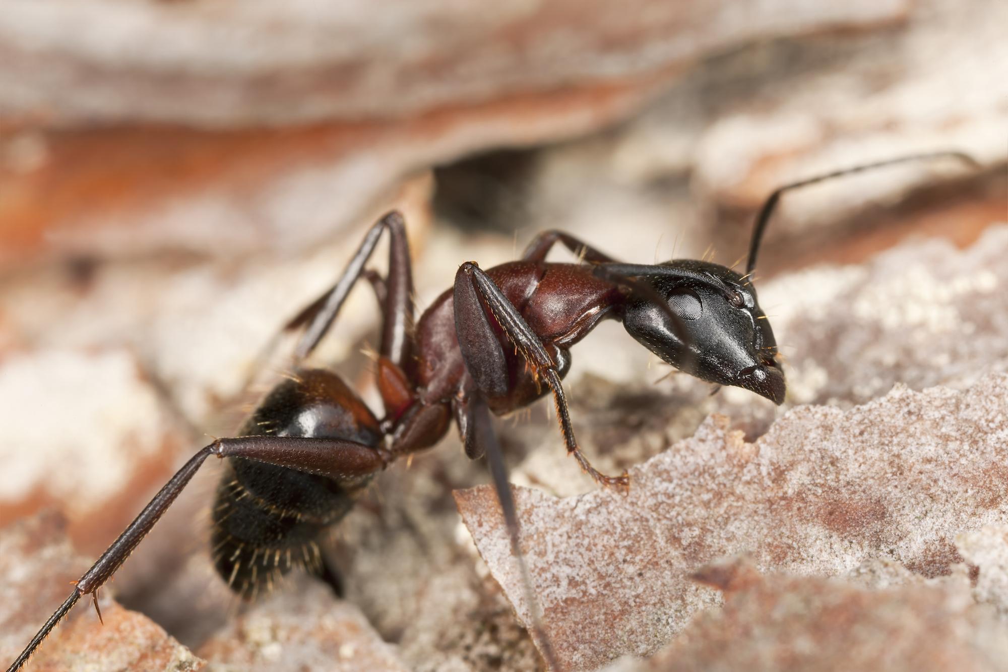 Carpenter Ants Economy Exterminators