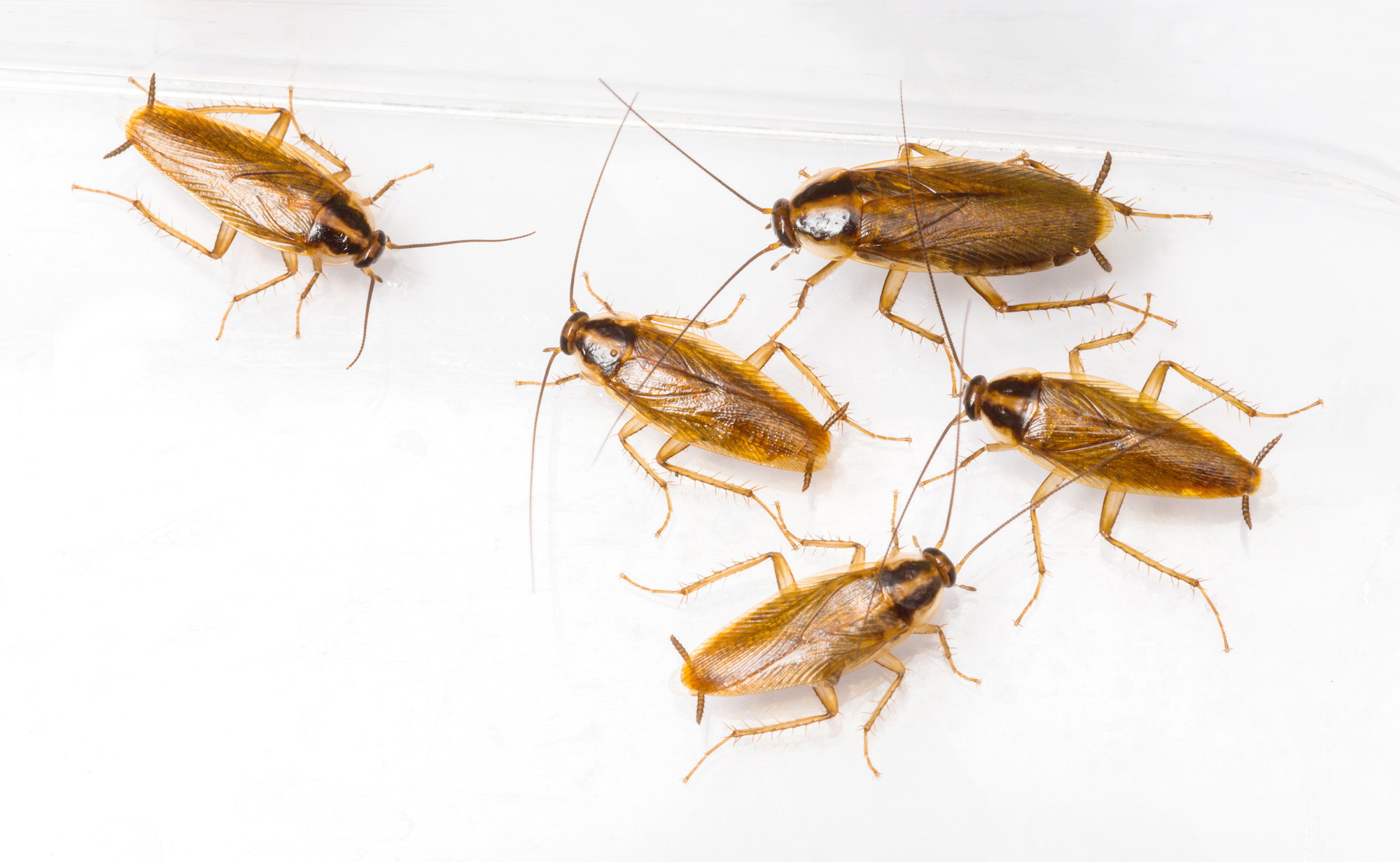 get rid of small roaches in my kitchen - zitzat