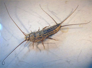 Silverfish, Four-lined Silverfish, Gray Silverfish, Firebrat